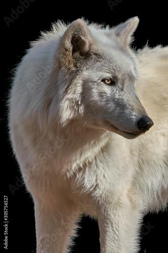 Photo  Gray Wolf Closeup