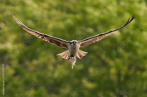 Osprey Catch IX Wallpaper Mural