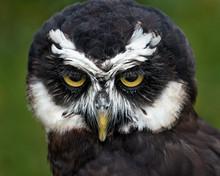 Spectacled Owl II