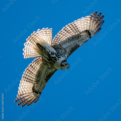 Photo  Red-Tailed Hawk in Flight