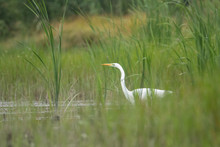 A Great White Heron Emerges Fr...