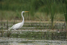 The Great White Heron Walks Beautifully On The Grass. She's Looking For Fish. Heron Fishing.