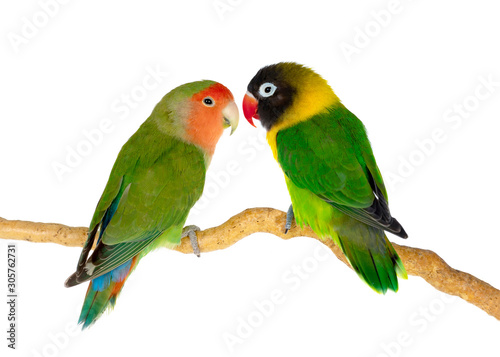 Lovebirds on a branch - 305762731