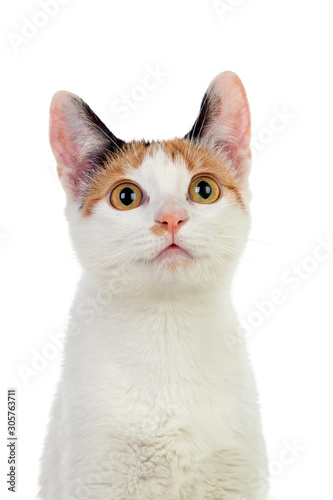 White cat with beautiful brown eyes