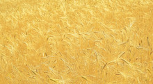 Field Of Golden Wheat Close Up
