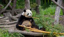 Panda Bear At The Berlin Zoo