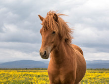 Portrait Of An Icelandic Horse In A Field, Iceland