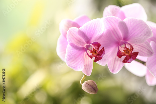Fototapeta Branch of beautiful pink Phalaenopsis orchid on blurred background, closeup obraz