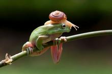 Snail On A Dumpy Tree Frog, In...