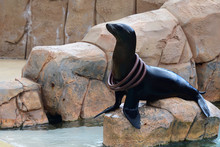 Close Up Of Sea Lion  (zalophu...