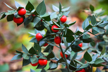 Butcher's-broom Or Ruscus Aculeatus Fruits On A Branch