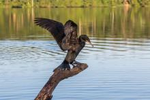 Neotropic Cormorant - Olivaceous Cormorant (Phalacrocorax Brasilianus) Breaking Into Flight.