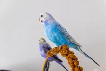 Blue Budgie Eats Millet Plunger