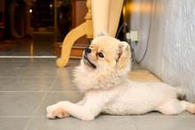 The Dog Of The Pomeranian Dog ...