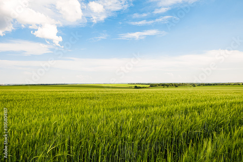 Fototapeta Green rye fields at a bright sunny summer day. Plain under a cloudy sky. Typical agricultural landscape of Belgorod reggion, Russia. obraz