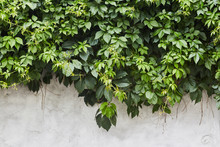 The Green Creeper Plant On A W...