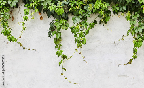 Canvas Print The Green Creeper Plant on a wall. Background