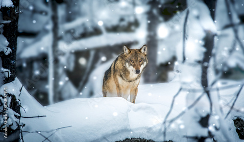 A lone Timber wolf or Grey Wolf Canis lupus walking in the falling winter snow
