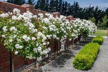 English Box Hedge Growing In F...
