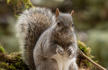 Eastern Gray Squirrel, Known A...