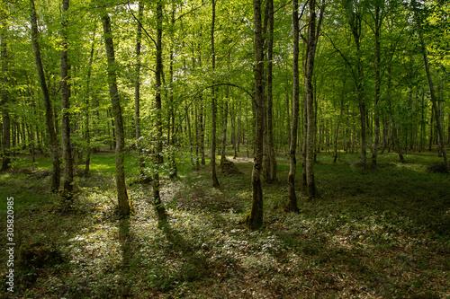 Fototapeta sous-bois de forêt normande