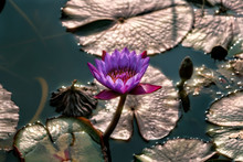 Purple Water Lily Flower And Shining Pond