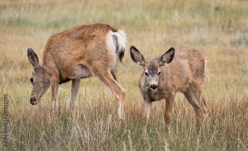Fotografia, Obraz Mule Deer