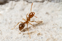 Red Imported Fire Ant, Solenop...