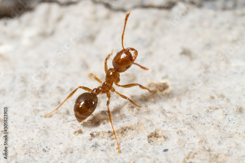 Red Imported Fire Ant, Solenopsis invicta Wallpaper Mural