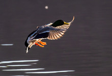 A Mallard Duck Comes In For A Landing On A Local Lake