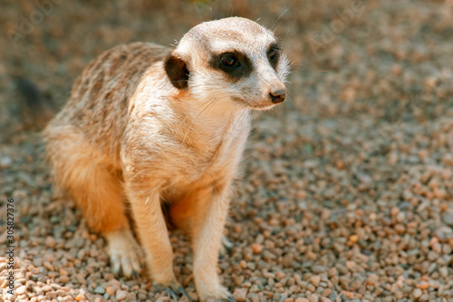 Fototapeta Adorable meerkat outside in nature during the day.