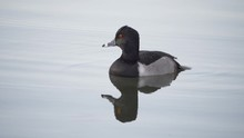 Ring-Necked Duck In Slow Motion