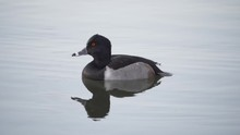 Ring-Necked Duck Swimming Slow...