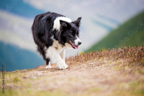 Leinwand Poster Border collie on exhausting hike