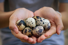 Natural Quail Eggs In Asian Woman Hands., , Selective Focus.