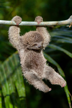 Baby Sloth Swinging From Branch