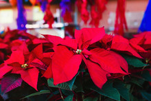 Christmas Plant Or Red Poinset...