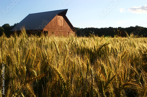 Obraz na płótnie old red barn in wheat field