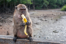 Funny Macaque Monkey Eats A Ba...