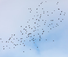 A Flock Of Birds Against The S...