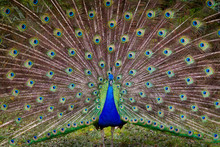 Henry The Peacock