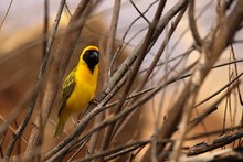 The Southern Masked Weaver Or African Masked Weaver (Ploceus Velatus) Sitting In The Grass.