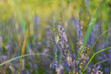Argiope Spider On A Web