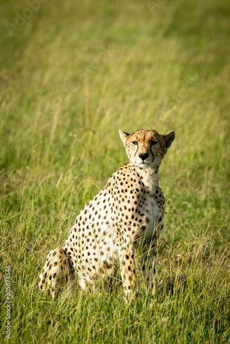 Female cheetah sits turning head in grassland Tapéta, Fotótapéta