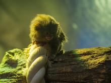 Little Monkey On A Tree At The Zoo. Pygmy Marmoset.