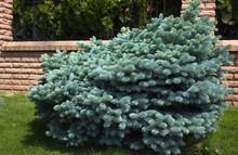 Picea Pungens 'Glauca Globosa' Globe Globosa Nature Picea Plant Pungens SpruceConiferous Blue Landscape Design