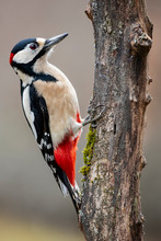 Adult Male Woodpecker Perched On A Log Looking For Food In Winter