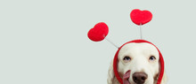 Dog In Love For Happy Valentines Day With Red Heart Shape Diadem And Tongue Linking Its Nose. Isolated On Gray Background.