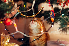 Ginger Cat Sitting Under Christmas Tree And Looking At Toys And Lights. Christmas And New Year Concept