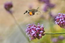 A Hummingbird Hawk Moth Flying...